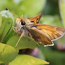 Skipper by Sheryl Hopkins