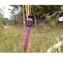 Drangon fly Photographic Print