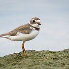 Semipalamated Plover by (Tallow) Dave  Van de Laar