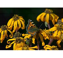 Butterfly - Red Admiral Photographic Print