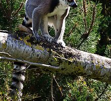 Ring-tailed Lemur by Andrew Robinson