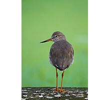 Redshank On Green.. Photographic Print