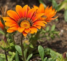Orange African Daisy by Andy Merrett