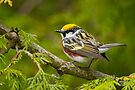 Chestnut-Sided Warbler by Michael Cummings
