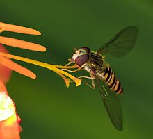 Hoverfly on flower by Mike Daish Photography and Design