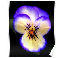 Purple & White Pansy Poster