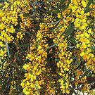 Mimosa by heatherfriedman