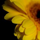 Sultry yellow gerbera in the dark II by ruthjulia