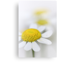 Matricaria (German chamomile) Canvas Print