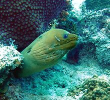 Green Moray Eel  by Amy McDaniel