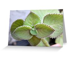 Cuban Oregano Plant Greeting Card