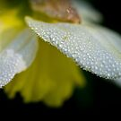 Dewdrops on daffodil in the dark by ruthjulia