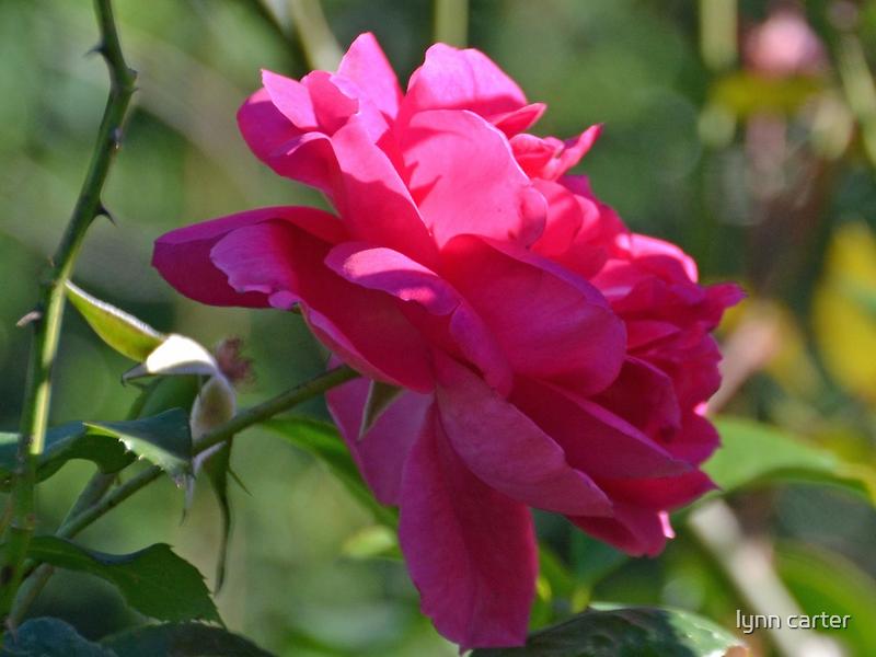 Pink Rose by lynn carter