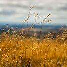 Golden Grass by Maybrick