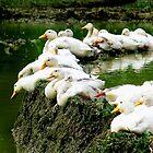 Sunbathing Ducks by Charlie-R