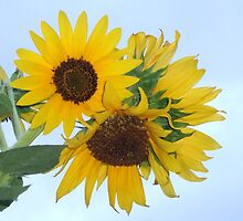 Pretty and Bright Yellow Sunflower Blossom 24 by JaguarJulie