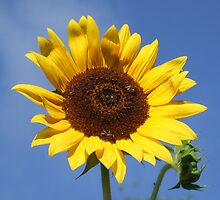 Pretty and Bright Yellow Sunflower Blossom 30 by JaguarJulie