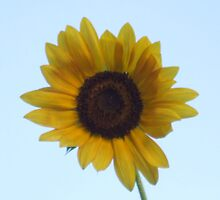 Pretty and Bright Yellow Sunflower Blossom 35 by JaguarJulie