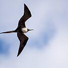 Flying Female Frigatebird by Paul Wolf