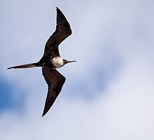 Flying Female Frigatebird by Paul Wolf