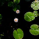 Water Lillies on Dark Water by Paul Wolf