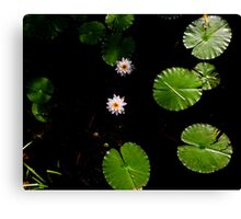 Water Lillies on Dark Water Canvas Print