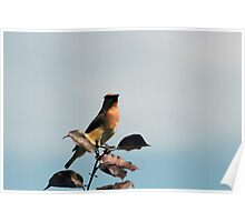Cedar Waxwing Among Leaves Poster