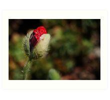 Red Poppy Bud Art Print