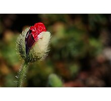 Red Poppy Bud Photographic Print
