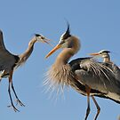 Blue herons, competing by Kate Farkas