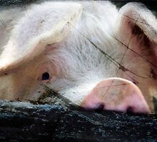 Peeking Pig by Clare Colins