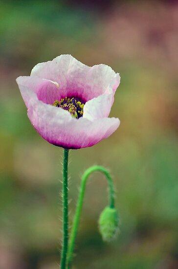 Wild Poppy 2 by Bami