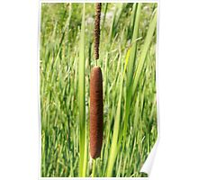 Bull Rush in a Marsh Poster