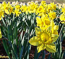 Daffodils by James Brotherton