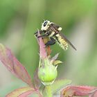 Bee on a Rose Bud by Ingasi