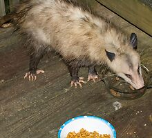 Virginia Opossum by Otto Danby II
