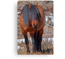 Shaggy Stallion Canvas Print