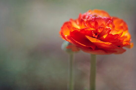 Orange Ranunculus by Clare Colins