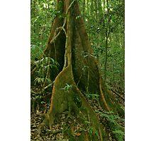 Rainforest tree. D'Aguilar range. Queensland. Photographic Print