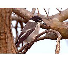 Butcher Bird Photographic Print