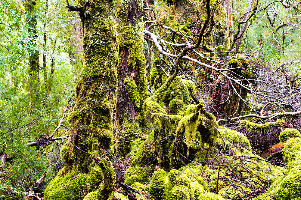 Weindorfer's Forest, Cradle Mountain,Tasmania by Elaine Teague