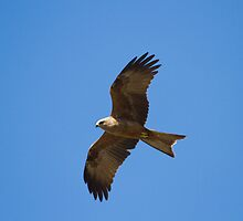Black Kite Hunting by byronbackyard