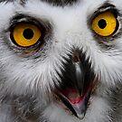 Snowy Owl by George Crawford