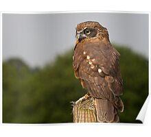 Boobook Owl Poster