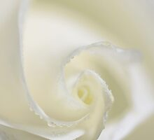 The Wedding Rose iphone case by M a r i e B a r c i a