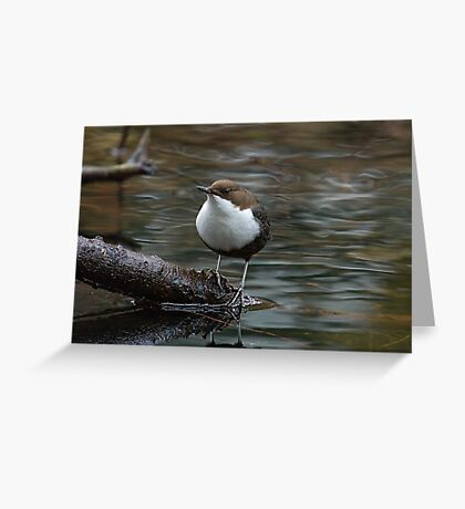 Black-Bellied-Dipper Greeting Card