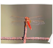 Scarlet Darter (male) Poster
