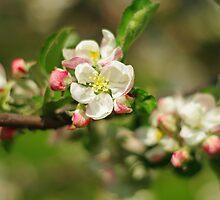 Blossom flowers by VIRAart