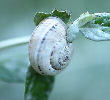 White snail by Lavanda