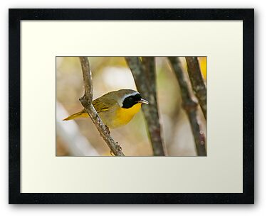 Common Yellowthroat Warbler by Michael Cummings